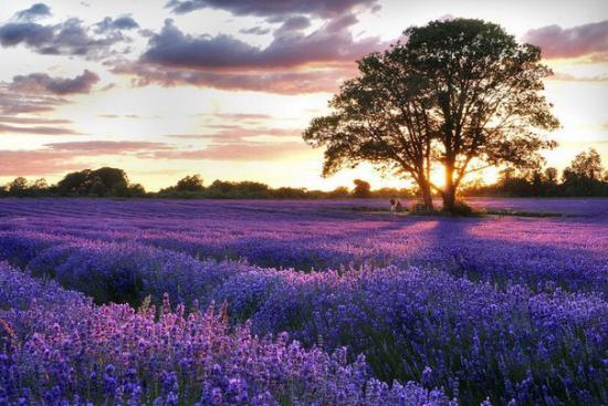 Лавандовое поле Прованс Франция.jpg